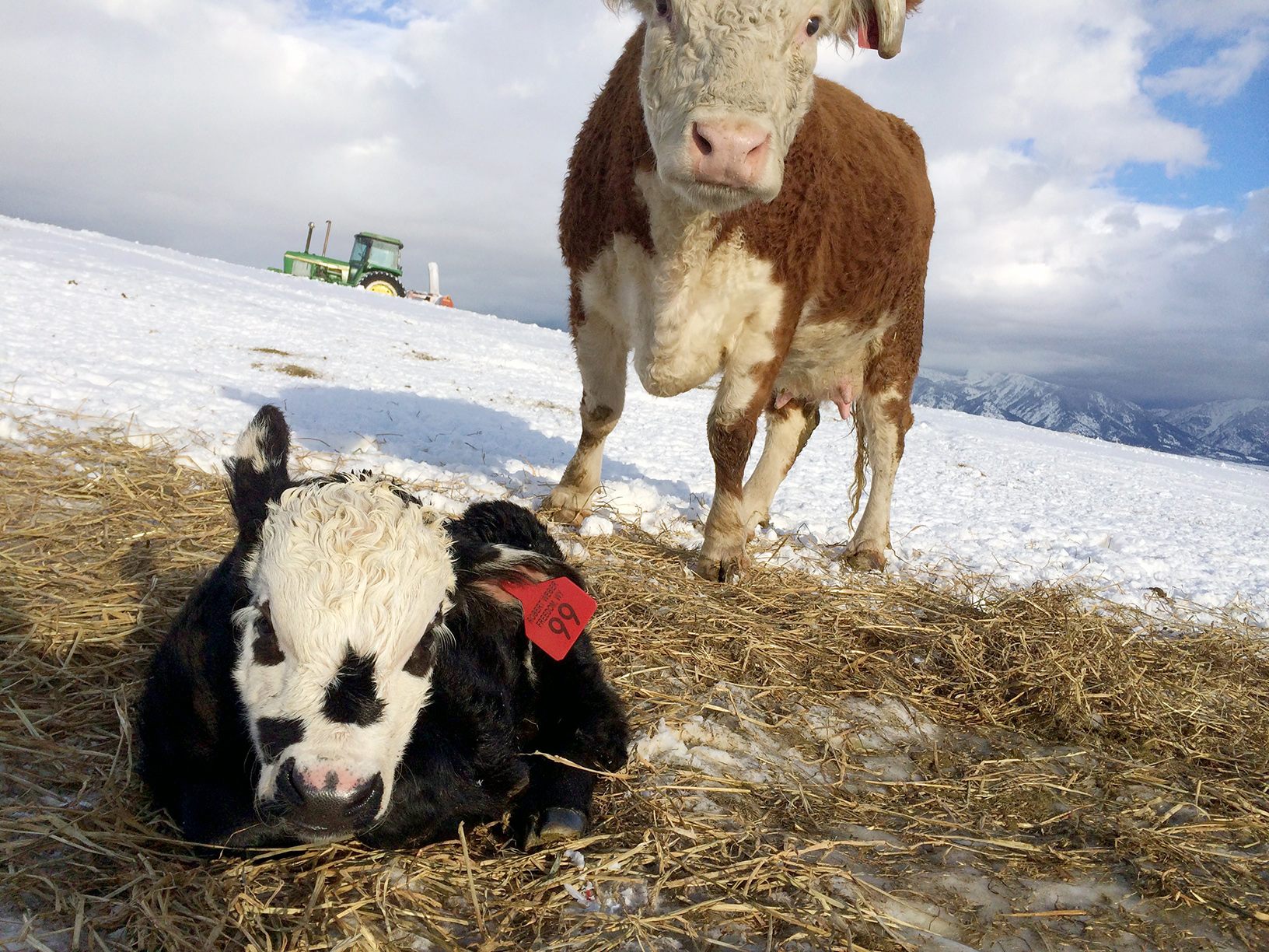 Hereford cow with her newborn calf